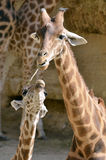 Giraffe and baby Stock Photography