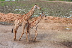 Giraffe and baby Royalty Free Stock Photography