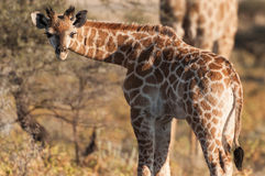 Giraffe baby Stock Photos