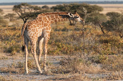 Giraffe baby Stock Photo