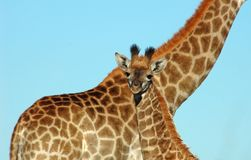Giraffe baby in Africa. Baby Giraffe with its mother in the bushveld of South Africa Stock Images