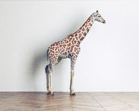 The giraffe baby Stock Photography