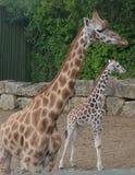 Giraffe with Baby Giraffe. Giraffe baby wild wildlife animal tall stock images