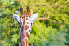 Giraffe back head look Stock Image