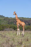 Giraffe on a background of grass Royalty Free Stock Photos