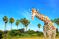 Giraffe and palms Royalty Free Stock Image