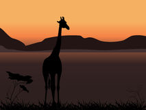 Giraffe on a background of sunset Stock Image