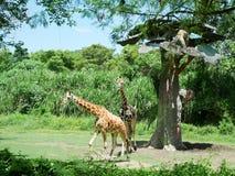 Giraffe in Bali, safari in Bali, beautiful giraffes Stock Image