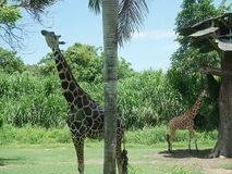 Giraffe in Bali, safari in Bali, beautiful giraffes Stock Photos