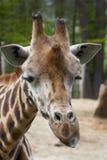 Giraffe Baringo Στοκ εικόνα με δικαίωμα ελεύθερης χρήσης