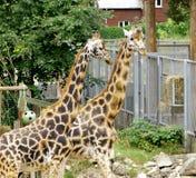 Giraffe Baringo Giraffa camelopardalis rothschildi. Closeup animal Royalty Free Stock Image