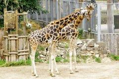Giraffe Baringo Giraffa camelopardalis rothschildi. Closeup animal Stock Image