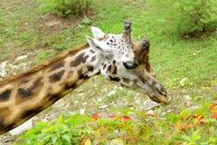 Giraffe Baringo Giraffa camelopardalis rothschildi. Closeup animal Stock Photo
