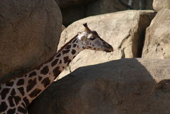 Giraffe Baringo - rothschildii camelopardalis Giraffa Στοκ φωτογραφία με δικαίωμα ελεύθερης χρήσης