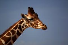 Giraffe. Beautiful and very tall giraffe Stock Images