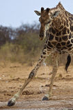 Giraffe bebendo Fotografia de Stock Royalty Free
