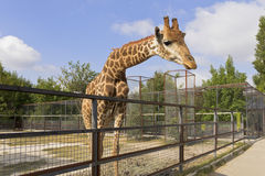 Giraffe behind the fence. Royalty Free Stock Photos