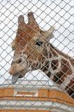 Giraffe behind grid Royalty Free Stock Photography