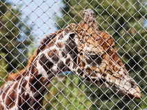 Giraffe behind grid of open-air cage Royalty Free Stock Photos