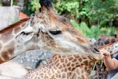 Giraffe being fed. For animal and wildlife concept royalty free stock photography