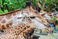 Giraffe being fed. For animal and wildlife concept royalty free stock image