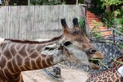 Giraffe being fed. For animal and wildlife concept royalty free stock photos