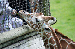 Giraffe being hand fed Stock Images