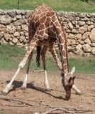 Giraffe bending down Royalty Free Stock Image