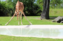 Giraffe bending down to drink Royalty Free Stock Photos
