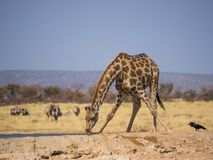 Giraffe bending down to drink at water hole in Etosha National Park, Namibia, Southern Africa Stock Photography