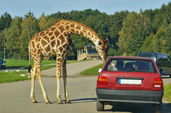 Giraffe bending down towards a car driver. Giraffe bending down towards a vehicle while begging the driver for food Royalty Free Stock Image