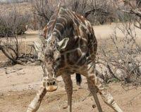 Giraffe bending over Stock Photography
