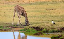 Giraffe bending to take a drink from a waterhole in South Luangwa Royalty Free Stock Image