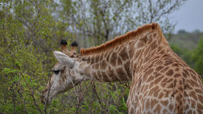 Giraffe bends to reach its meal of leaves in Kruger Park Royalty Free Stock Photo