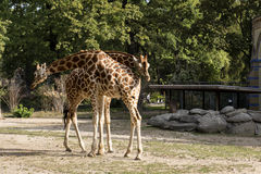 Giraffe in Berlin Zoo Royalty Free Stock Photography