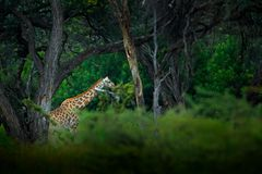 Giraffe in big tree forest habitat. Landscape with big animal. Wildlife scene from nature, Okavango, Botswana, Africa. Giraffe hid. Den in the environment royalty free stock photography