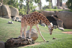 Giraffe in Biopark Royalty Free Stock Photos
