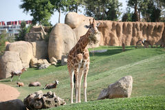 Giraffe in biopark Stock Photography