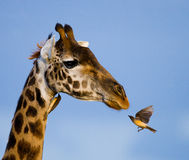 Giraffe with bird. Kenya. Tanzania. East Africa. An excellent illustration royalty free stock photo