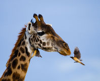 Giraffe with bird. Kenya. Tanzania. East Africa. An excellent illustration stock image