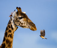 Giraffe with bird. Kenya. Tanzania. East Africa. An excellent illustration royalty free stock image
