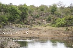 Giraffe and birds in the bush by water pond, Kruger National Park, South Africa stock photo