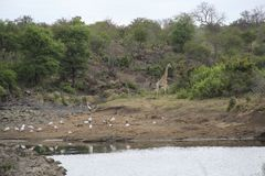 Giraffe and birds in the bush by water pond, Kruger National Park, South Africa royalty free stock image