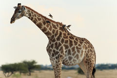 Giraffe with birds Royalty Free Stock Image