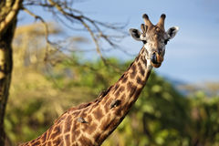 Giraffe with birds on the neck Stock Photo