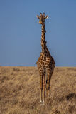 Giraffe with birds on neck Royalty Free Stock Images