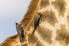 Giraffe Birds Wildlife Stock Photography