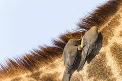 Giraffe Birds Wildlife stock photo