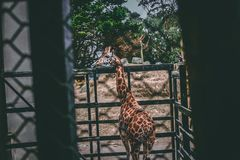 Giraffe on Black Metal Cage Stock Photography