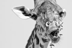 Giraffe in Black and White Royalty Free Stock Images